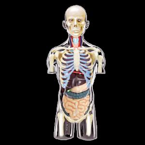 Анатомическая модель Торс человека, 37 деталей