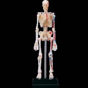 Анатомическая модель Скелет человека, 46 деталей